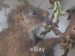Diorama écureuils naturalisés sur branche époque XIXème